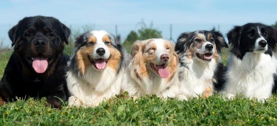 fem hundar